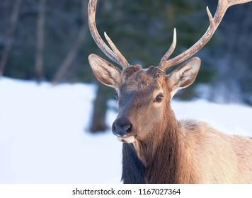 Bull Elk walking in the winter snow in Canada