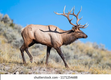 A bull elk walks along a ridge inside Yellowstone National Park.