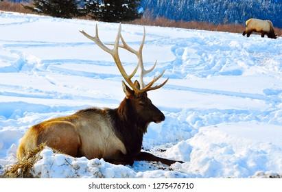 Bull Elk or Wapiti Cervus Canadensis lying on the snow