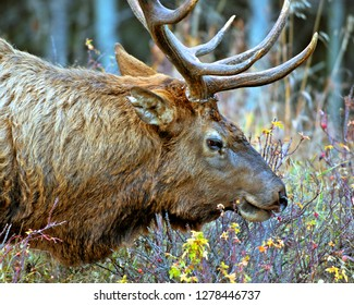A bull elk or wapiti, (Cervus canadensis), grazes in the Rocky Mountains in Jasper National Park, Canada. Elk are one of the largest of the deer family in North America.