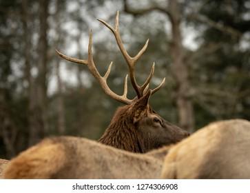 A Bull Elk Wapiti looking over the backs of the cow elk.