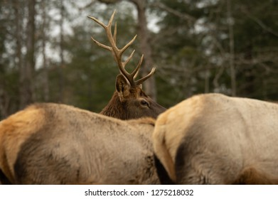 A bull elk wapiti watching over a herd of cows.