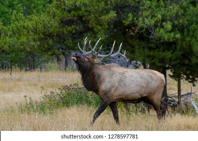 Bull Elk (Wapiti) in Yellowstone National Park, Wyoming, United States