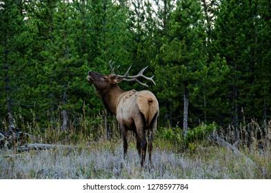 Bull Elk (Wapiti) in Yellowstone National Park, Wyoming, United States