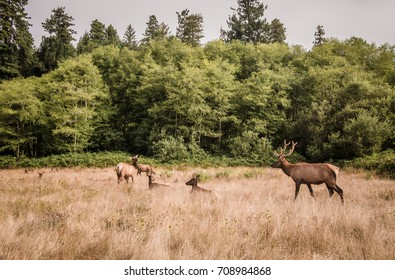A bull elk watches over his herd of cows and calves in a forest-lined field in Northern California.