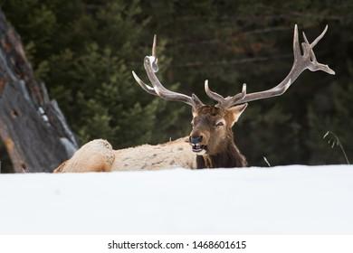 Bull elk in the winter months