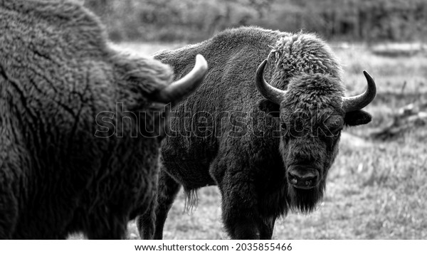 A bull of an European bison is looking at his opponent before a fight for the ranking in the herd