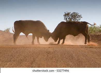 Bull fight on the road in Western Australia