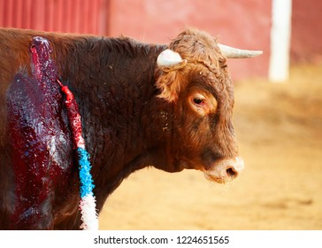 Bull having been stabbed in a bull fight in Spain