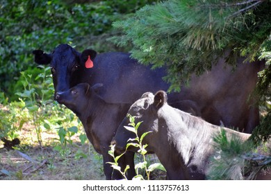 A bull, heifer, and calf on a free range ranch in the woods