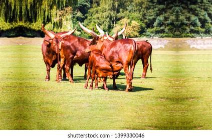 Bull herd on pasture grazing. Bulls on pasture field. Mare and foal bull hers scene. Bull herd pasture scene