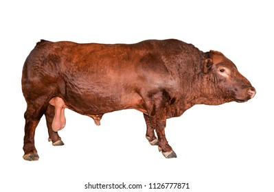 Bull isolated on white. Beautiful big brown bull full length. Bull close up. Farm animals. Beef cattle isolated on white.