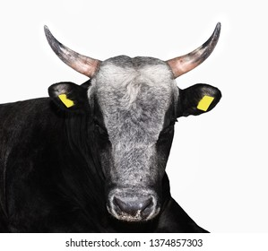 Bull isolated on white. Beautiful big brown bull portrait close up. Farm animals. Beef cattle isolated on white.