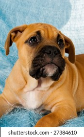 Bull Mastiff puppy isolated on a blue background