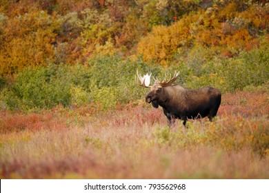 A bull moose in Alaska's Denali National Park