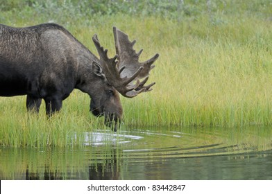 Bull Moose (Alces alces) with antlers in velvet enters a pond to feed on aquatic grasses. Denali National Park, Alaska.