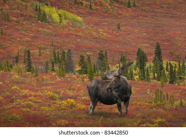Bull Moose (alces alces) Denali National Park, Alaska.