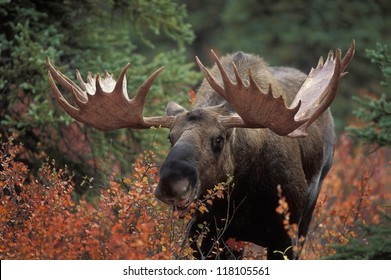 Bull moose (Alces alces) feeds on fall foliage of dwarf birch, Denali Nat'l Park, Alaska.