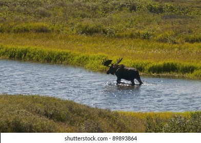 A Bull Moose (Alces alces) traverses one of the many kettle hole ponds containing aquatic grasses on which he will feed. Denali National Park, Alaska.