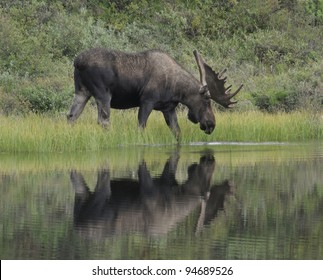 Bull Moose (Alces alces) wades into a pond to feed on aquatic grasses, Denali National Park, Alaska.