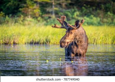 Bull moose in Algonguin Park, Ontario, Canada.
