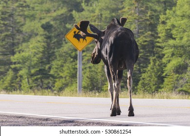 bull moose approaching crossing sign