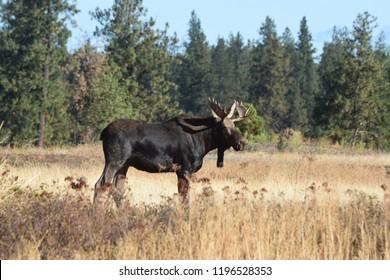 Bull Moose Autumn