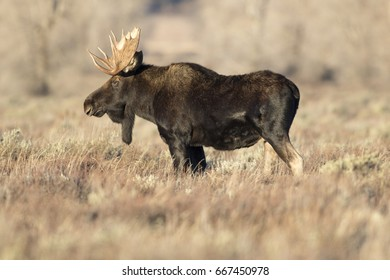 Bull moose in autumn between colored plants and shrubs
