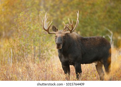 A bull moose in an autumn setting