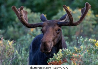 Bull moose in Colorado's Indian Peaks Wilderness, Summer.