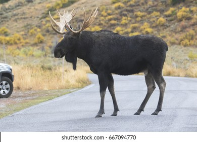 Bull moose crossing asphalt road with car