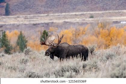 Bull Moose in Fall
