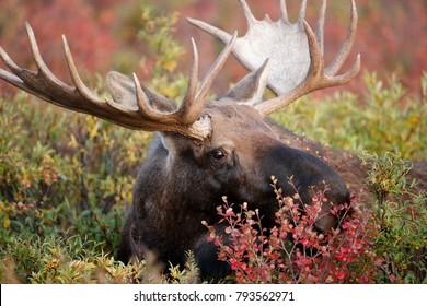 A bull moose feeding in Alaska's Denali National Park