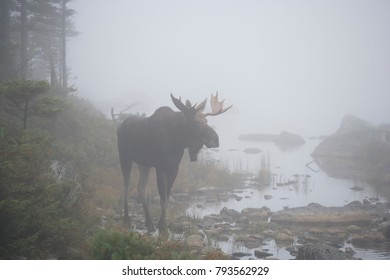 A bull moose in the fog of the Maine woods