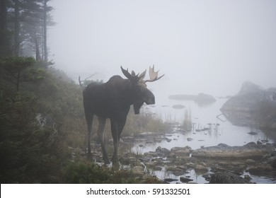 A bull moose in the fog.