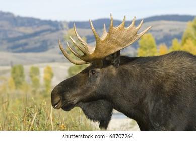 Bull Moose at Grand Teton National Park