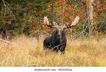 Bull Moose with huge antlers (Alces alces) on edge of a pond in Algonquin Park, Canada in autumn