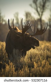 A bull moose lifts his head from the sage brush in Grand Teton National Park, Wyoming.