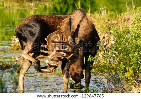 Bull Moose in a marsh, Grand Tetons NP, Wyoming