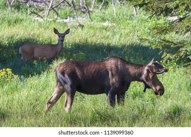 Bull Moose and Mule Deer doe having lunch in a grassy Colorado Mountain field.
