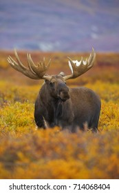A bull moose out in the fall colored tundra of Denali National Park and Preserve, Alaska.