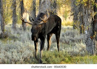 Bull Moose posing