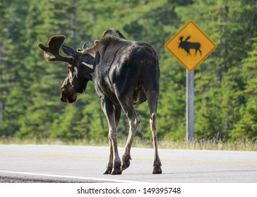 bull moose respecting road sign