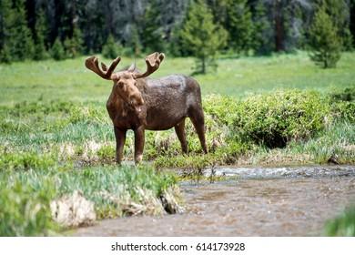 Bull Moose Rocky Mountain National Park