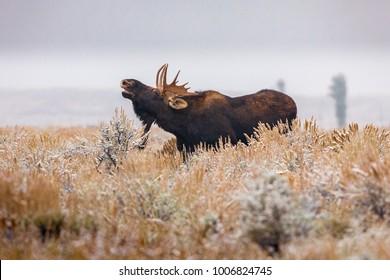 Bull Moose in sagebrush, Jackson, Wyoming.