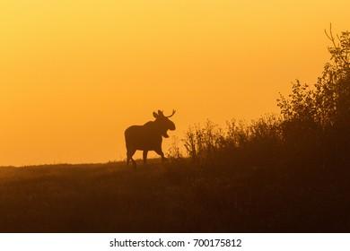 Bull Moose in silhouette against light of dawn