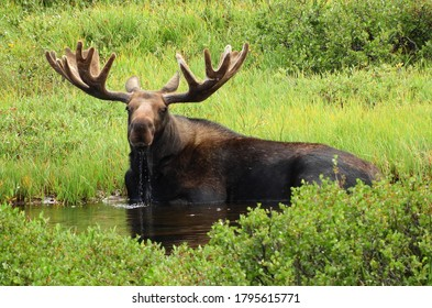 Bull moose sitting down, drinking water in the marsh  next to a pond along the trail to blue lake    in the indian peaks wilderness area near nederland, colorado