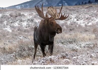 Bulle Elche im Schnee