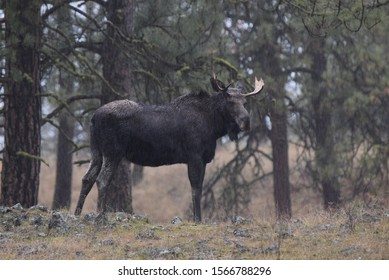 Bull moose standing in the woods