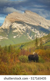 A bull moose stands in front of Mount Rundle in Banff National Park, Alberta.